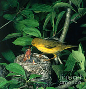 Yellow Warbler Posters - Yellow Warbler Feeding Nestlings Poster by Photo Researchers