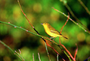 Yellow Warbler Framed Prints - Yellow Warbler Galapagos Islands Framed Print by Thomas R Fletcher