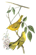 Yellow Warbler Framed Prints - Yellow Warbler Framed Print by John James Audubon