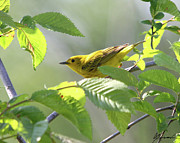 Biard Prints - Yellow Warbler Print by Sarah  Lalonde