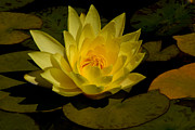 The Flower Photographer - Yellow Water Lily by Glenn Franco Simmons