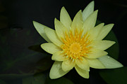 Banana Art Digital Art Prints - Yellow Waterlily - Nymphaea mexicana - Hawaii Print by Sharon Mau