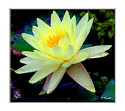 Dropped  Painting Prints - Yellow Waterlily Print by Diana  Tyson