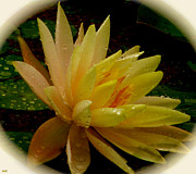 Detailed Mixed Media - Yellow Waterlily Macro by Debra     Vatalaro