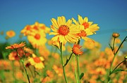 Taos Photo Prints - Yellow Wildflowers Print by Sandy L. Kirkner