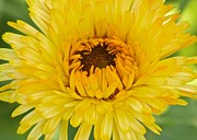 Photograpy Metal Prints - Yellow Zinnia 9494 4286 Metal Print by Michael Peychich