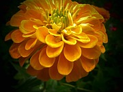 Zinnias Photos - Yellow Zinnia by Joyce  Kimble Smith