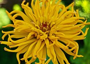 Photograpy Posters - Yellow Zinnia_9480_4272 Poster by Michael Peychich