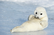 Y120817 Art - Yellowcoat Harp Seal Pup by Daisy Gilardini