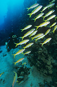 Yellowfin Posters - Yellowfin Goatfish With A Diver Poster by Alexis Rosenfeld