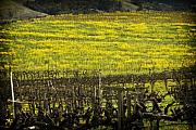 Vineyard Landscape Originals - Yellowness by John Gusky