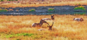 Sleeping Cows Prints - Yellowstone - Elk Snooze 1 Print by Steve Ohlsen