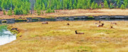 Sleeping Cows Prints - Yellowstone - Elk Snooze 3 Print by Steve Ohlsen