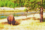 Commune Digital Art Framed Prints - Yellowstone - Grazing Lone Buffalo Framed Print by Steve Ohlsen