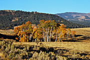 Aspen Grove Prints - Yellowstone aspens 9677 Print by Michael Peychich