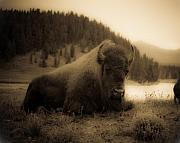 Bison Framed Prints - Yellowstone Bison 2 Framed Print by Patrick  Flynn