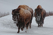 Three Animals Posters - Yellowstone Bison Poster by DBushue Photography