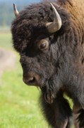 Bison Photos - Yellowstone Bison Portrait by Sandra Bronstein