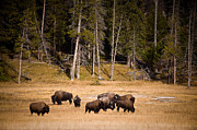 Bison Photo Metal Prints - Yellowstone Bison Metal Print by Steve Gadomski