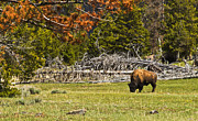 Terry Hollensworth-Rutledge - Yellowstone Bison
