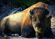 Bison Photos - Yellowstone Buffalo by Lori Seaman