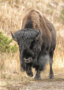 Wade Aiken - Yellowstone Buffalo