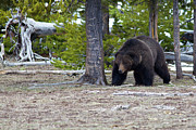 Yellowstone Photos - Yellowstone Grizzly, Preacher by Photo By Daryl L. Hunter - The Hole Picture