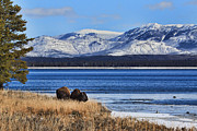 Bison Photos - Yellowstone Lake by Ann  Van Breemen