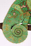 Curled Up Posters - Yemen Chameleon, Close-up Of Coiled Tail Poster by Martin Harvey