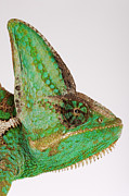 Bizarre Color Posters - Yemen Chameleon, Close-up Of Head, Side View Poster by Martin Harvey