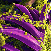 Microscopy Posters - Yersinia pestis Bacteria SEM Poster by NIAID and Photo Researchers