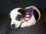 Black And White Jack Russell Terrier Puppies Photos - Yes I Am An American by Linda Parker