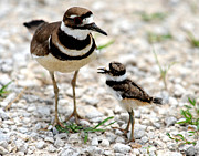 Killdeer Metal Prints - Yes Mommy Metal Print by Rob Morgan