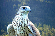 Gyrfalcon  Metal Prints - Yeti, A Hybrid White Gyrfalcon Metal Print by Stocktrek Images