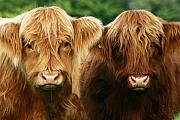 Highland Cow Art - Yeti Cows  by Angel  Tarantella