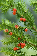Conifer Tree Prints - Yew Tree Berries (taxus Baccata) Print by Bob Gibbons