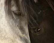 Equine Photo Posters - Ying and Yang Poster by Ron  McGinnis