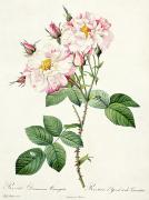 Leaf Spring Prints - York and Lancaster Rose Print by Pierre Joseph Redoute