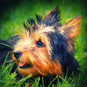 Ears Mixed Media Posters - Yorki Poster by Angela Doelling AD DESIGN Photo and PhotoArt