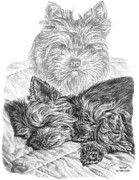 Terrier Dog Drawings Framed Prints - Yorkie - Yorkshire Terrier Dog Print Framed Print by Kelli Swan