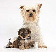 Cross Breed Prints - Yorkie And Yorkipoo Pup Print by Mark Taylor