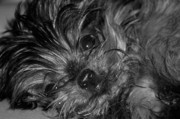 Yorkie Metal Prints - Yorkie in Black and White Metal Print by Peter  McIntosh