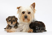 Cross Breed Prints - Yorkie Mother With Yorkipoo Pups Print by Mark Taylor