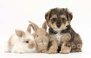Cross Breed Prints - Yorkipoo Pup With Baby Rabbits Print by Mark Taylor