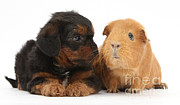 Cross Breed Photos - Yorkipoo Pup With Guinea Pig by Mark Taylor