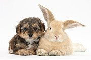 Cross Breed Posters - Yorkipoo Pup With Sandy Rabbit Poster by Mark Taylor
