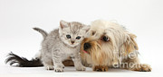 Canidae Photos - Yorkshire Terrier & Tabby Kitten by Mark Taylor
