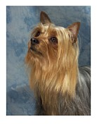 Yorkshire Terrier Digital Art - Yorkshire Terrier 38 by Larry Matthews
