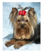 Yorkshire Terrier Digital Art - Yorkshire Terrier 642 by Larry Matthews