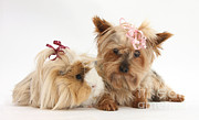 Fauna Metal Prints - Yorkshire Terrier And Guinea Pig Metal Print by Mark Taylor